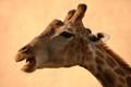 Giraffe - Lisbon Zoo, Portugal