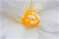 Pure White Begonia