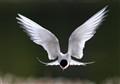 Arctic tern Alaska