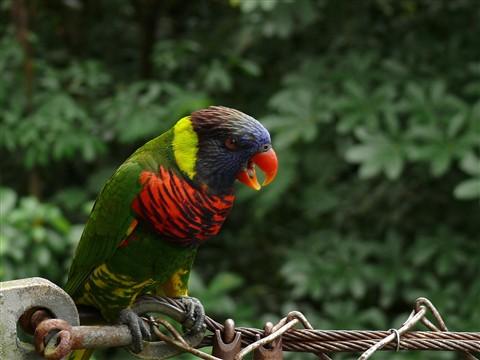 Parakeet-original