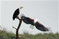 African Fish Eagles in Uganda