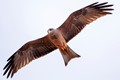 african red kite hunting