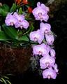 phalaenopsis spill spike