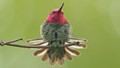 Male Anna Hummingbird