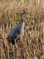 Eurasian Crane (Grus grus)