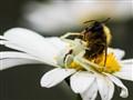 Bee Natural Predator