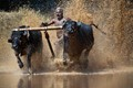 cattle race