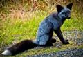 Wild Black Fox
