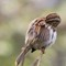 Song Sparrow preening 1600