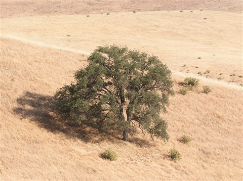 CA_Tree_web