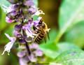 Bee on Purple Basil