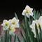 IMG_0131-daffodils