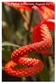 Pigtail Anthurium