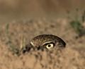 Peeking from the burrow