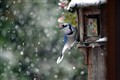 Blue Jay on the feeder