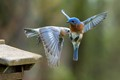 A Female and Male Eastern Bluebird almost colliding when coming to the feeder to get mealworms for their young.