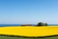 Rapeseed field in Bornholm