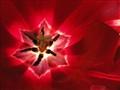 Red Tuilip
