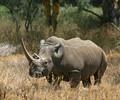 Rhinoceros, Kenya