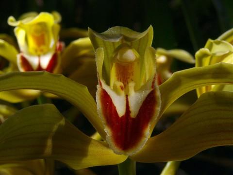 Awkward orchid
