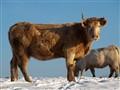Une jolie vache