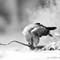 Tawny Eagle_031