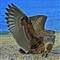 Juvenile Black Backed Gull (2) (1024x1024)