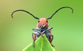 The Milkweed Beetle