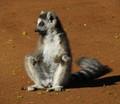 Ring Tailed Lemur Berenty Madagascar