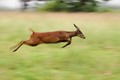 Barking Deer in a Hurry