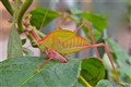 Wild-Coloured Katydid