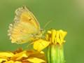 Cloudless Sulphur Butterfly – Phoebis sennae