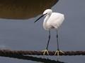 White Heron (?)