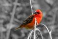 Red fody (Foudia madagascariensis)