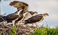 nest full of ospreys in cypress tree