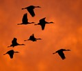 Cranes returning at Sunset