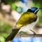 Blue Face Honeyeater (1 of 1)