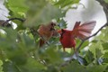 Male Northern Cardinal and offspring