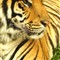 Tiger 10 04 12_Thailand 6
