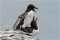 Razorbills Farne Isles England