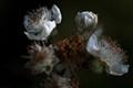 White Flower of the Blackberry
