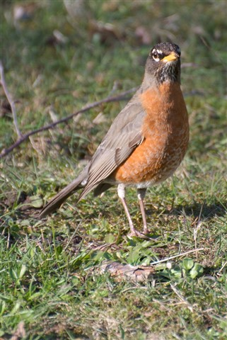 American Robin 1, March 2013