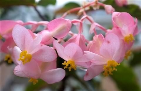 pink begonias Seymour Botanical Conservatory