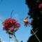 Hummingbird-Moth-2