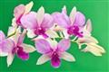 orchids_2406