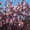 20140419_082324 Cherry blossom