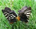 Mistletoe Moth - Comocrus behri
