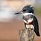 Kingfisher profile on post-
