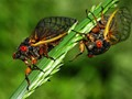 2016 Ohio 17 years cicadas.