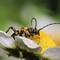 Beetle - Rutpela maculata (Black-and-Yellow Longhorn Beetle) 210704 (5)
